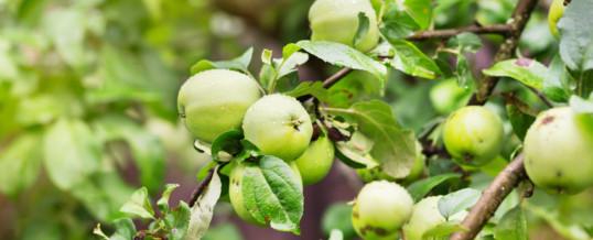 How to Make Organic, Plant-Based Fruit Tree Pesticides