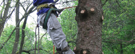 What the Tree Care Industry Wants You to Know About Tree Cabling and Bracing